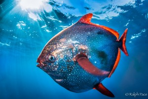 Figure 1: The strange but beautiful opah, Lampris guttatus. Image from swfsc.noaa.gov