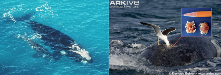 Gulls in Argentina bully whales into changing their behavior