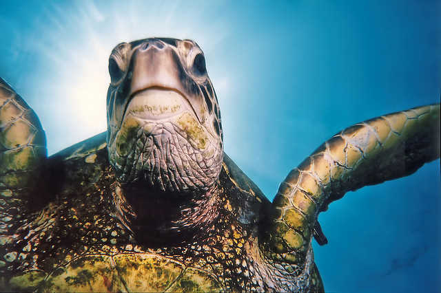 Mark the green sea turtle's new profile pic! (Credit: Roy Niswanger)