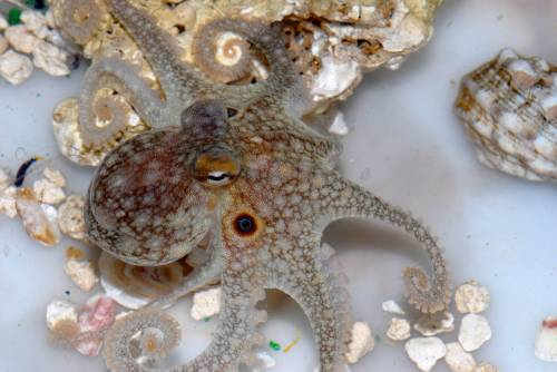 Seeing with skin: the secret to octopus camouflage