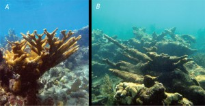 Fig. 1: A healthy coral reef (left, A) vs. the likely appearance of a coral reef subjected to acidification (right, B).