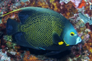 Fig. 2: French Angelfish(Source: http://flowergarden.noaa.gov/image_library/fish/frenchangelfishgps.jpg)