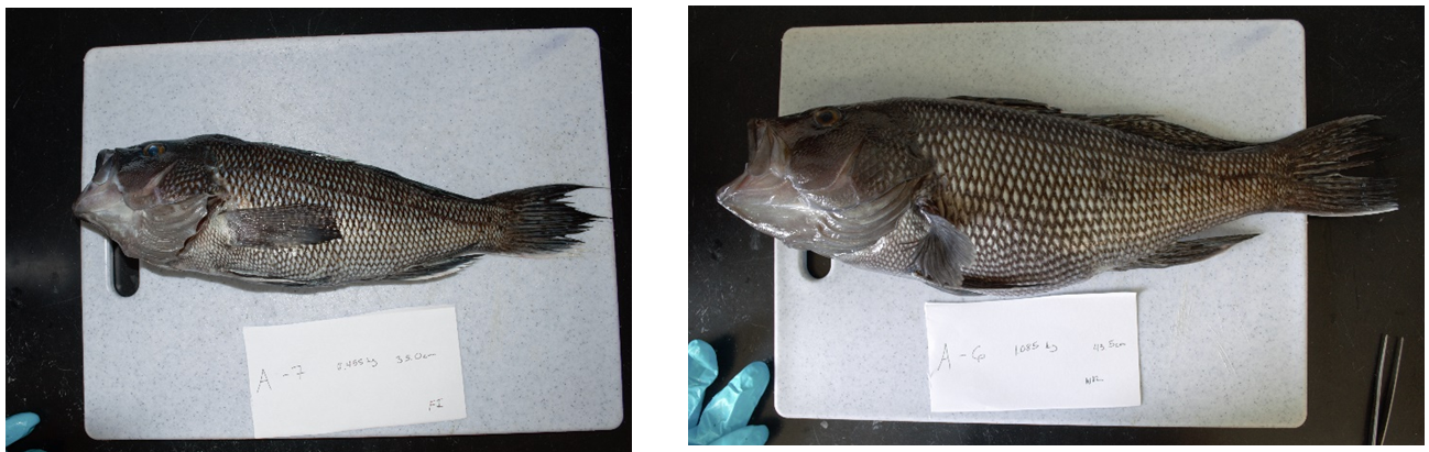 Can you tell which fish is male and which is female?
