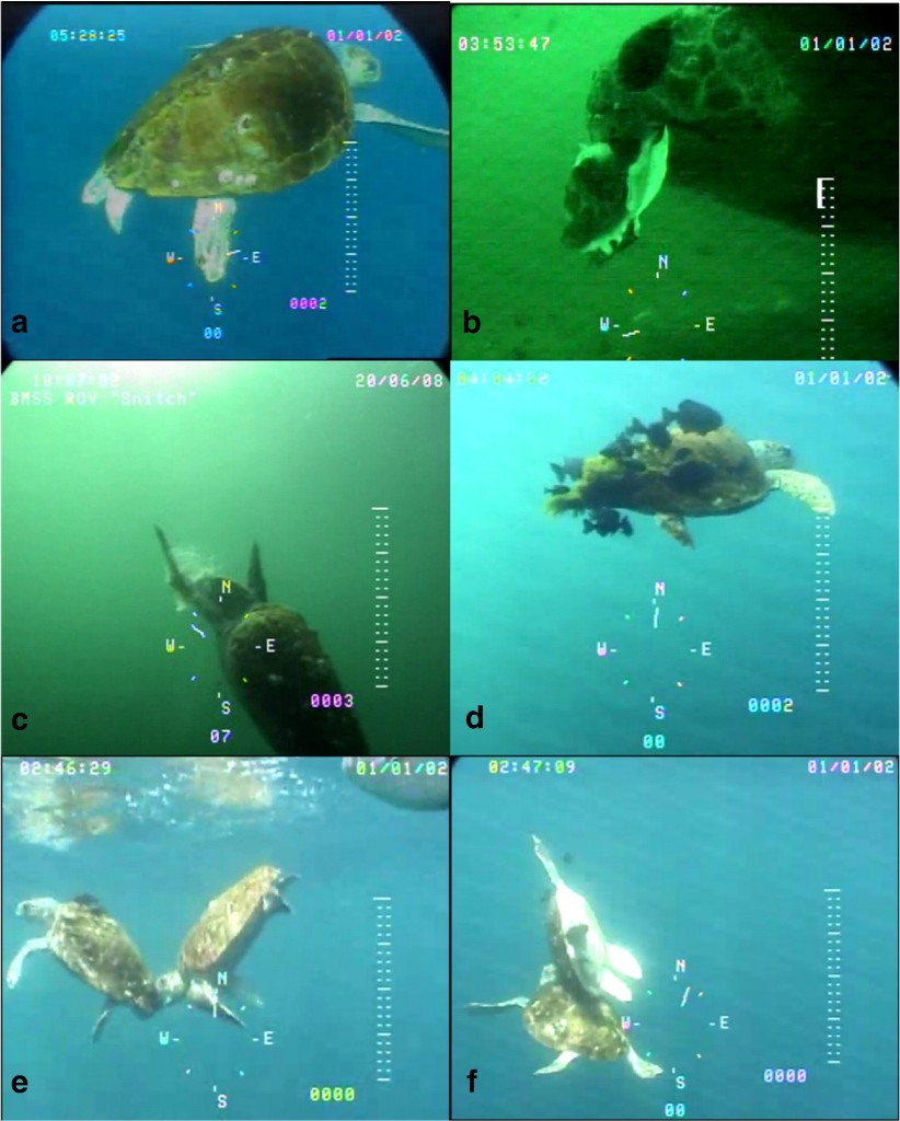 Figures 3a-3f - Loggerhead behaviors observed by ROV. a: male loggerhead, b: sea scallop in loggerhead mouth, c: turtle eating a lion's mane jellyfish, d: barrelfish and triggerfish near turtle with algae on carapace, e: one sea turtle biting the algae on the shell of another, f: the same two turtles rubbing carapaces together