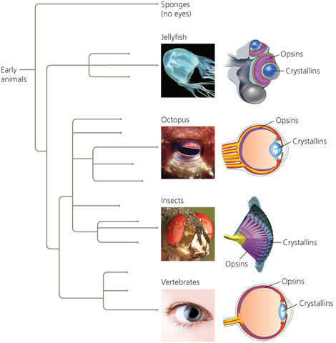 Figure 1. While eyes range in structure throughout the animal kingdom, certain aspects remain the same despite this diversity. Recent discoveries in evolution have found that all eyes (from humans to jellyfish) have crystallins and opsins. These traits are likely from a common ancestor, meaning the evolution of eyes goes back millions of years, possibly to a time before vertebrates and invertebrates split off in the evolutionary tree. Image courtesy of pbs.org.