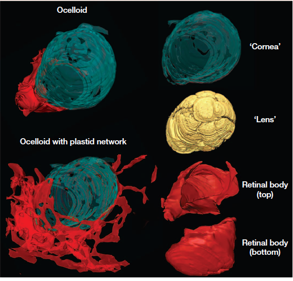 The 'Eyes' Have It: Co-option of organelles led to the evolution of dinoflagellate eyes