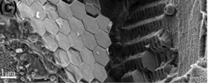 Cryo-SEM image of Sapphirina metallina specimen that was high-pressure-frozen and freeze-fractured.  Adapted from Gur et al., 2015.