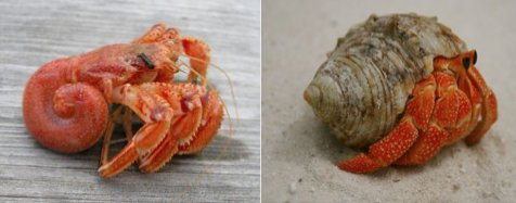 Beyond the shell: What are hermit crabs really after?