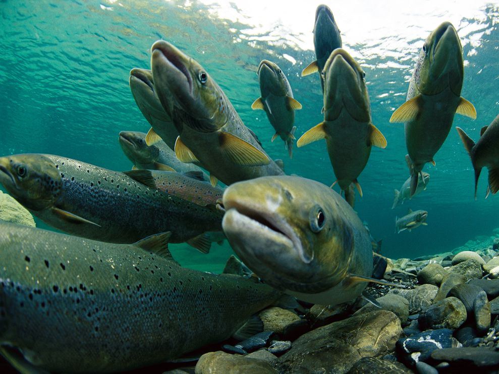 Telling the complicated story of Atlantic Salmon with the help of genetic technology