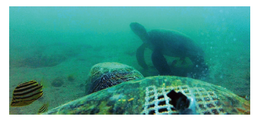 Figure 4: Green turtles posing to be cleaned by stripeys (Microcanthus strigatus) near a rock ledge.