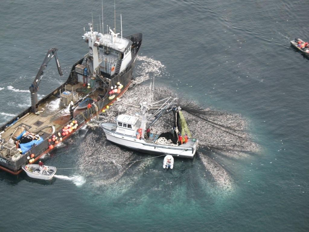 Figure 2 – Forage fish (herring) catch from one 30 minute net haul of a commercial fishing team.