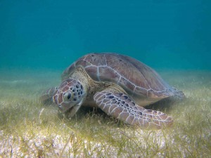 Green Sea Turtle (Chelonia mydas) grazing on seagrass. Source: https://commons.wikimedia.org/wiki/File:Green_Sea_Turtle_grazing_seagrass.jpg