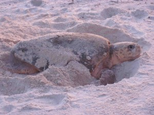 Loggerhead female nesting on a beach at sunset. Source: Rebecca Flynn. Please do not reproduce this photo without my permission.