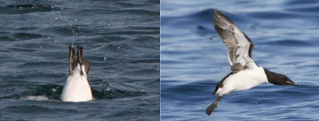 Diving birds find an abundant food source in a surprising place