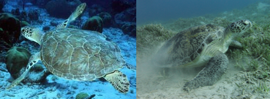 Figure 2 – Olive ridley sea turtle (left) | Green sea turtle (right)