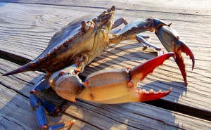 Figure 2: A blue crab, the state crustacean of Maryland. credit
