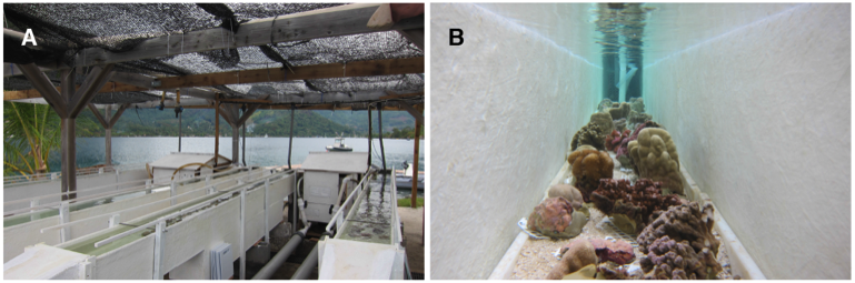 Figure 1: Flume set up.  A) Four tanks outside. B) ex situ reef community in the flume.