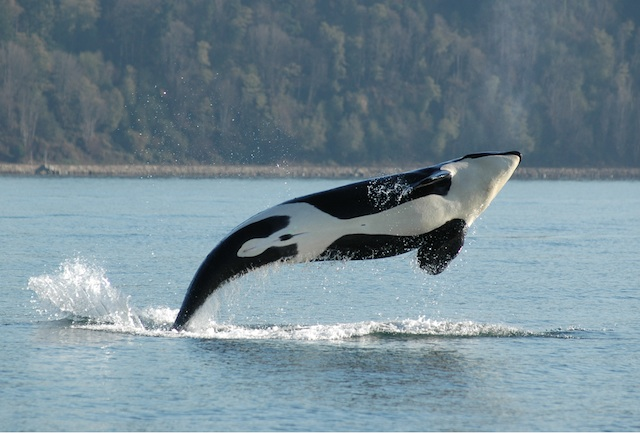 Healthy Obesity: Whales and Dolphins Benefit from their Blubber