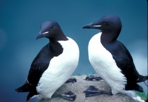 """Thick-billed Murres in Alaska refuge"" by Sowls, Art - U.S. Fish and Wildlife Service"