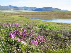 Figure 3: An Arctic wetland full bloom in the summer. Credit