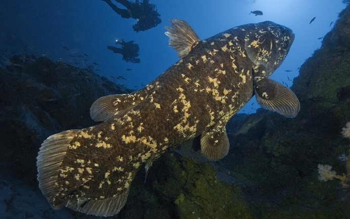 The coelacanth and its leftover lung