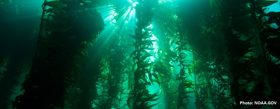 Kelps forced into hiding: Underwater forests troubled by warm oceans