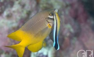 Fig. 4. Bluestreak cleaner wrasse cleaning a scarface damselfish. Photo credit: Richard Smith (http://phys.org/news/2015-08-presence-bluestreak-cleaner-wrasse-juvenile.html)