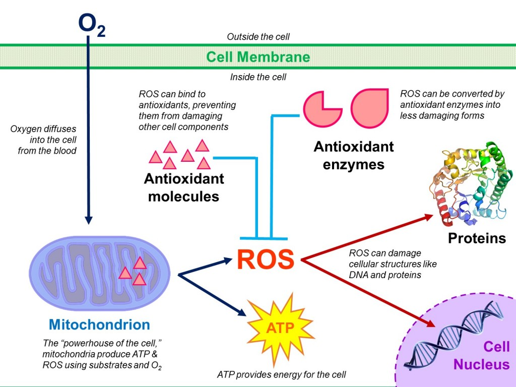 Fig. 3. Reactive oxygen species (ROS) are a by-product of energy production in the mitochondrion, and can damage cellular structures. ROS levels are tightly controlled in the cell by antioxidant molecules and antioxidant enzymes like superoxide dismutase and catalase. Left unchecked, ROS can damage important cellular structures like proteins, DNA, and membranes. Borowiec, 2015.