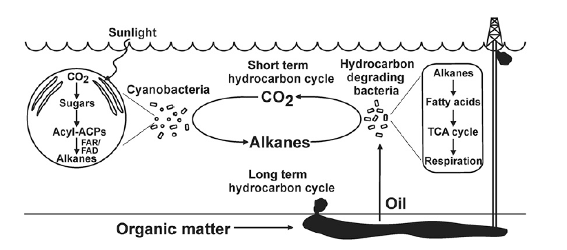 Figure 2: The short and long term hydrocarbon cycles in the ocean. In the short term cycle, cyanobacteria produce alkanes that are rapidly degraded by the hydrocarbon-degrading bacterial community, preventing oil from accumulating. This maintains an active oil-degrading community capable of rapidly responding to an oil spill and breaking down toxic compounds (the long term hydrocarbon cycle).