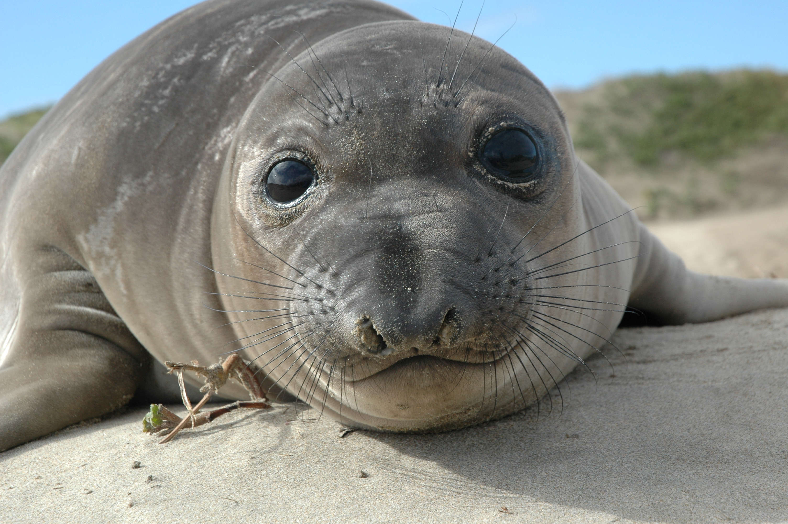 Mercury at elevated levels observed in only some elephant seals, but why?