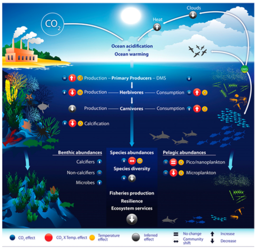 The grand scheme. Look familiar? Nagelkerken and Connells conceptual framework for the effects of increased temperature, acidification alone and together. Still, hardly crystal clear. Image courtesy Nagelkerken and Conell, 2015).