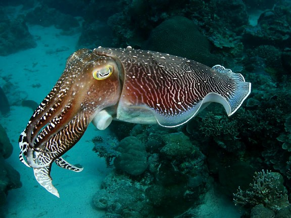 """Cuttlefish """"freeze-out"""" their predators"""