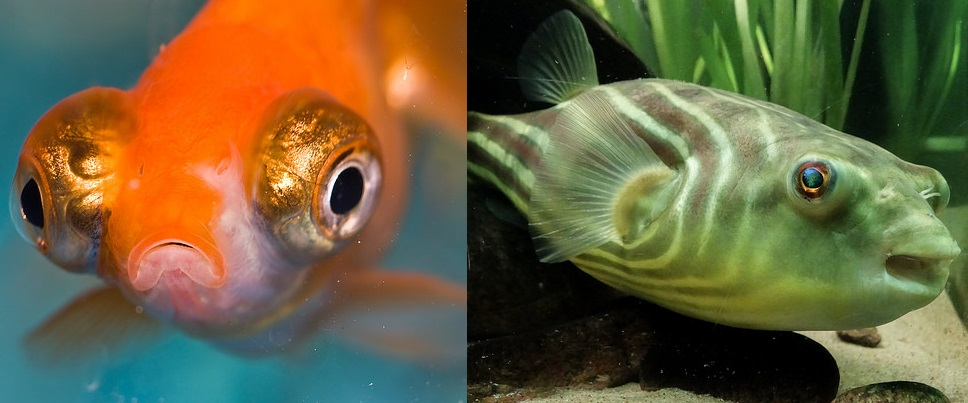 Figure 1 - Sad fish (left, photo credit: Benson Kua, flickr creative commons) and happy fish (right, photo credit: Jevgenijs Slihto, flickr creative commons)