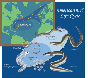 Mystery Solved: Insight into the Eel Migration