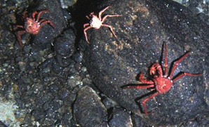 A new king (crab) of the Antarctic