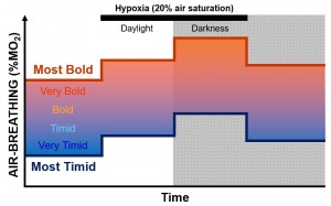 Fig. 3. Proportion of oxygen consumption (% of MO2) attributable to air-breathing across contexts in representative bold and timid personality types. Catfish tend to air-breathe more at night due to both increased activity and possibly reduced predation pressure. Hypoxia (low water oxygen content) reduces the resting oxygen consumption rate of catfish, but induces a greater reliance on the alternative method of oxygen uptake. Bold and timid animals respond similarly to environmental cues, though the former tends to show more exaggerated responses, since they have both a greater resting oxygen consumption and extract a greater proportion of their total oxygen requirements from air. Image for Oceanbites by B.G. Borowiec, based upon data presented by McKenzie et al., 2015.