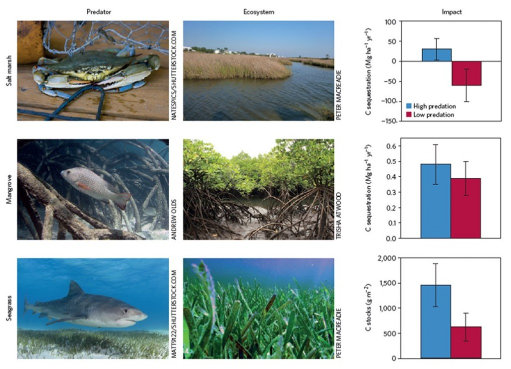 Figure 2: Reductions in some predator populations have indirect effects on carbon sequestration in coastal habitats. This figures show the carbon changes in three ecosystems under high predation (blue) and low predations (red). A) predatory blue crab in a New England salt marsh , B) the predatory mangrove jack fish in an Australian mangrove, and C) a tiger shark in an Australian seagrass bed. (Atwood et al., 2015; used with permission)