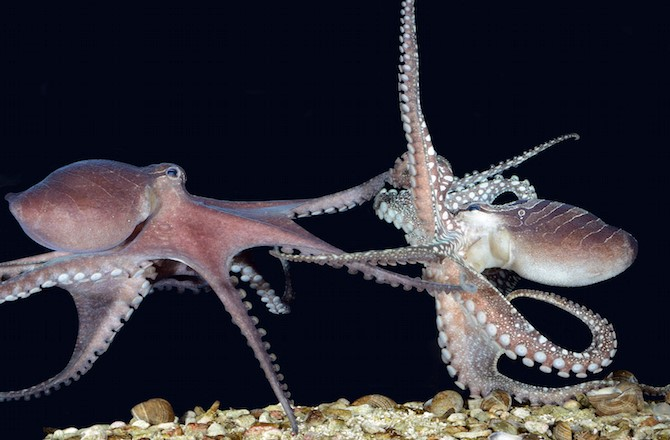 Cephalopods engage in colorful confrontations