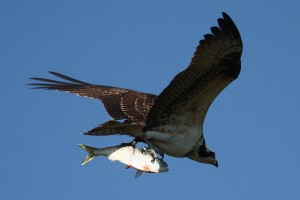 Figure 2: An osprey with their fresh caught dinner! Organic contaminants can bioaccumulate in fish and be transfer and magnified up the food web.