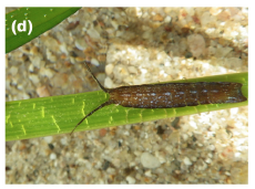 Fig. 2: Synischia hectica grazing on Cymodocea nodosa blades. Source: Martínez-Crego et al. 2015.