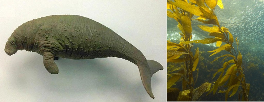 Fig. 1: A) A reconstruction of a sea cow. They grew up to 30 feet in length. B) Kelp, the primary food source of the sea cow.