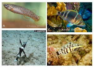 Figure 2: Examples of sequentially hermaphroditic fishes. A) The mangrove killifish (Fivulus marmoratus), B) a deep-sea lizard fish (also called a tripod fish;Bathypterois guentheri), C) the barred hamlet (Hypoplectrus puella), D) the harlequin bass (Serranus tigrinus ) image credit for D): ryan photographic