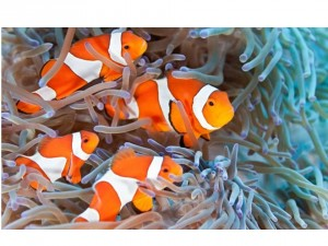 Figure 1: anemone fish (sometimes called clown fishes) are protandrous hermaphrodites. Image from: Krzysztof Odziomek/Shutterstock, retrieved from theatlantic.com