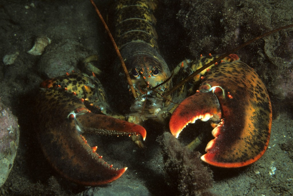 Watch out! This lobster thinks you're cute. (Credit: Derek Keats, flickr Creative Commons).