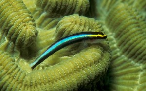 """The conspicuous colouration of many cleaner fishes, like this Caribbean cleaner goby (Elacatinus evelynae), is an example of convergent evolution – many species developing similar features independently. This simplifies the """"cleaner fish"""" signal, and facilitates the cleaner-client relationship. [Wikimedia]"""