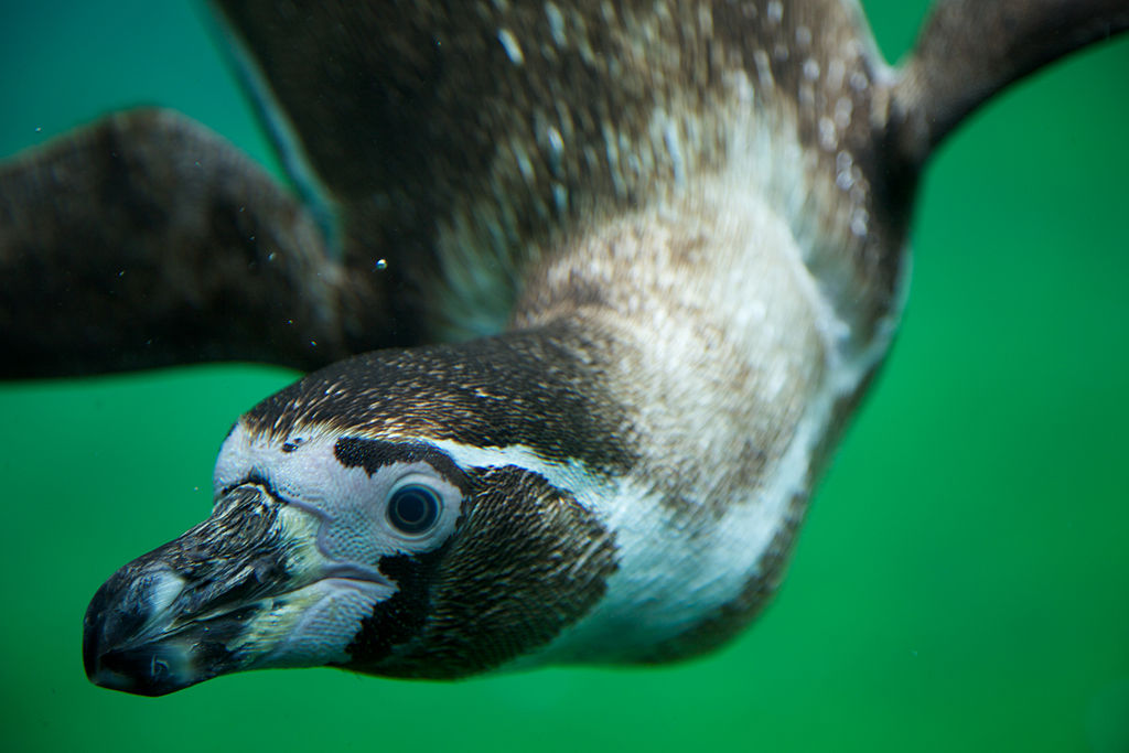 Ice-Proof Penguin Feathers Inspire New Material