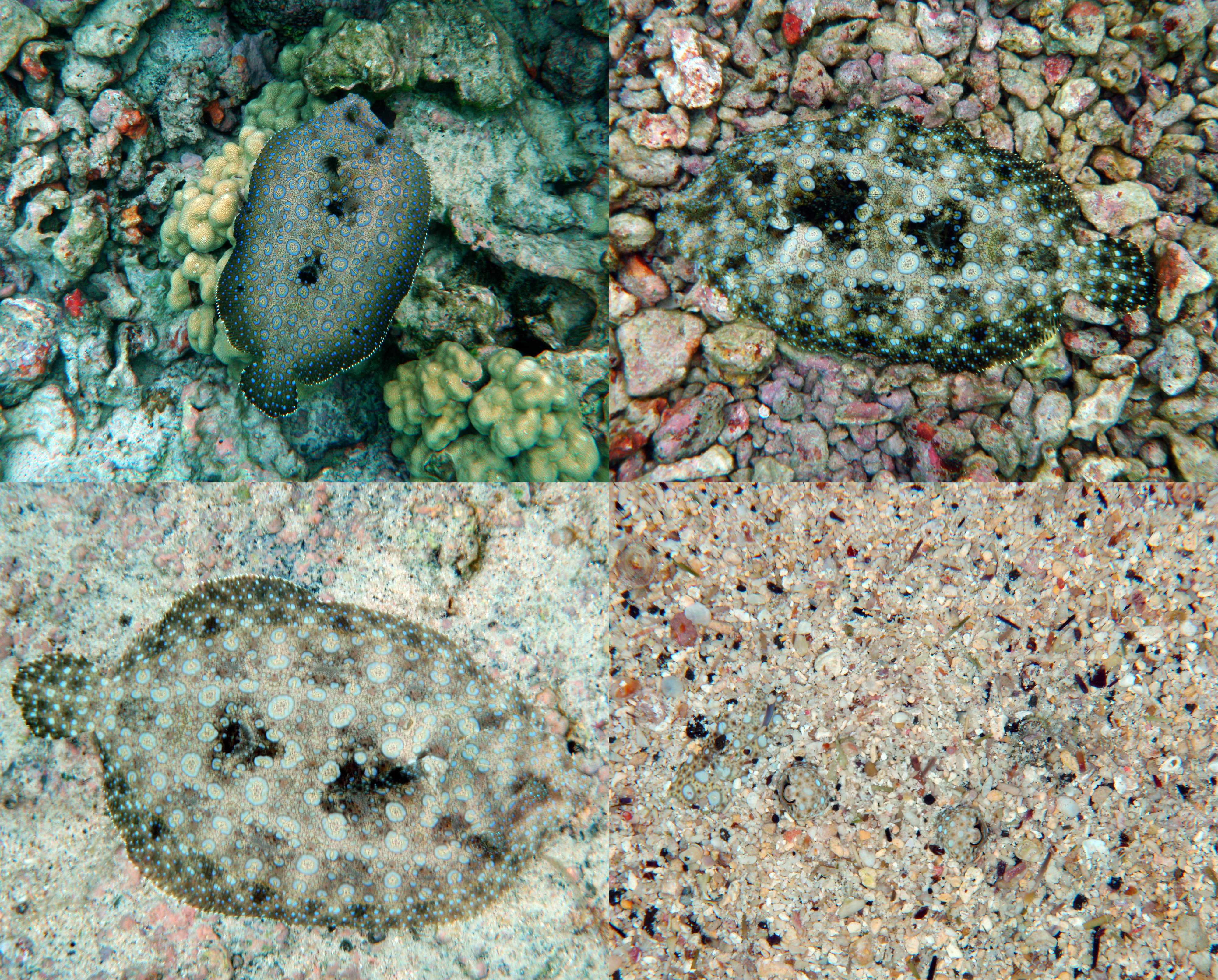Peacock Flounder. Source: Brocken Inaglory, WIkimedia Commons. Note: All photos of the same fish taken within minutes of eachother.
