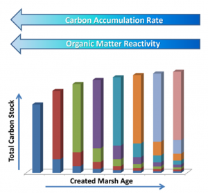 Figure 4: This conceptual graph shows that the turnover rate of carbon (how fast it is released back into the atmosphere) is faster in younger marshes and becomes slower in mature marshes since the carbon becomes less labile. Think of each color as a different year of carbon accumulation. Thus, older marshes are likely long-term sinks for carbon.