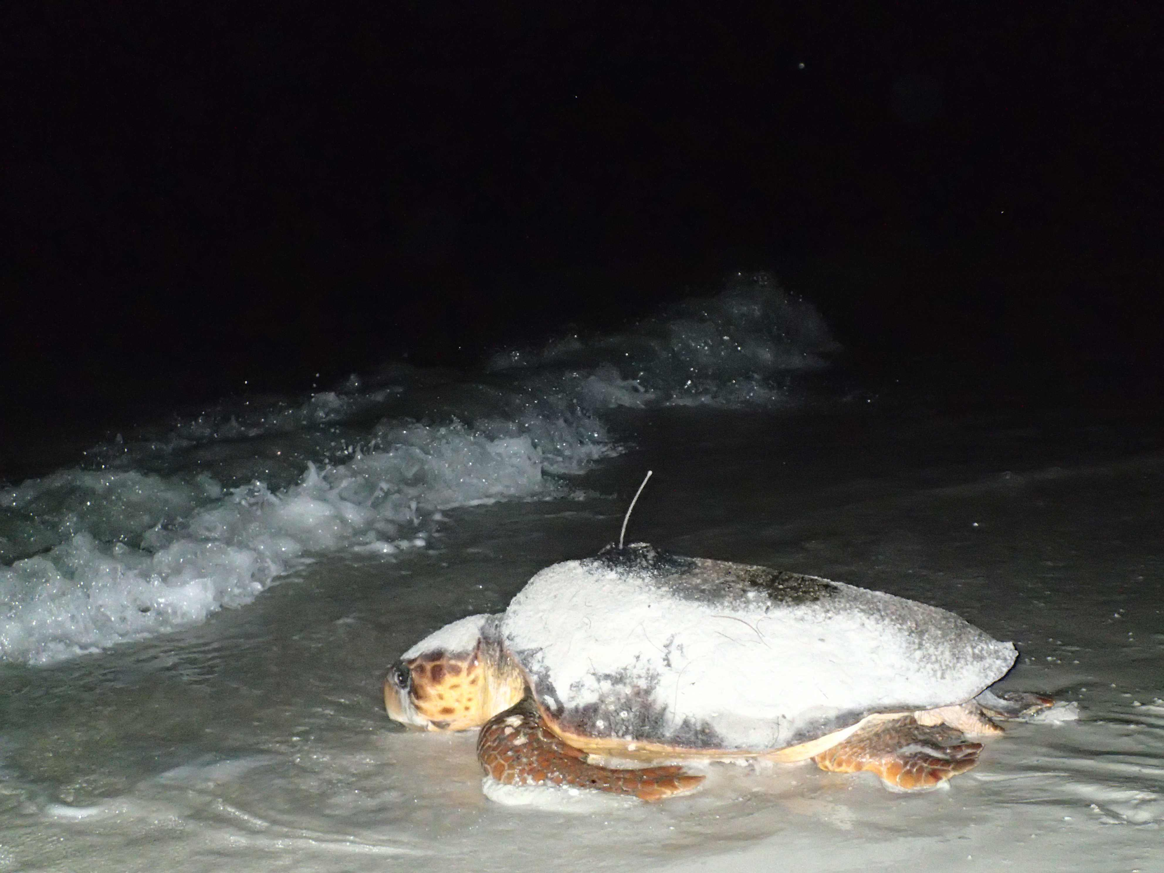 For Sea Turtles, There's No Place Like Home