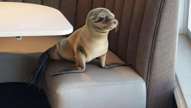 """What's your fish special?"" A stranded and hungry sea lion pup finds its way into an upscale Sani Diego restaurant this winter. Photo credit: CBS news."